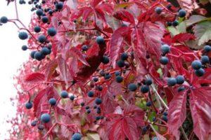 декоративные растения в ландшафтном дизайне девичий виноград