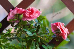 декоративные растения в ландшафтном дизайне роза