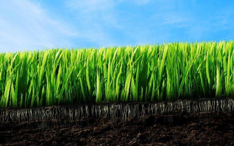 Обзор разновидностей рулонных и посевных газонов