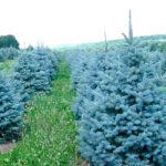 Голубая ель в Казани Саженцы