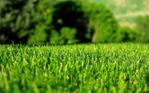 Особенности посевного газона