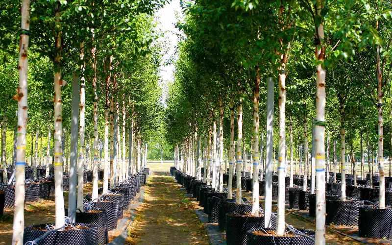 Где купить саженцы декоративных деревьев и кустарников