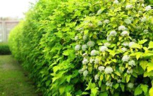 Какие кустарники выбрать для живой изгороди?
